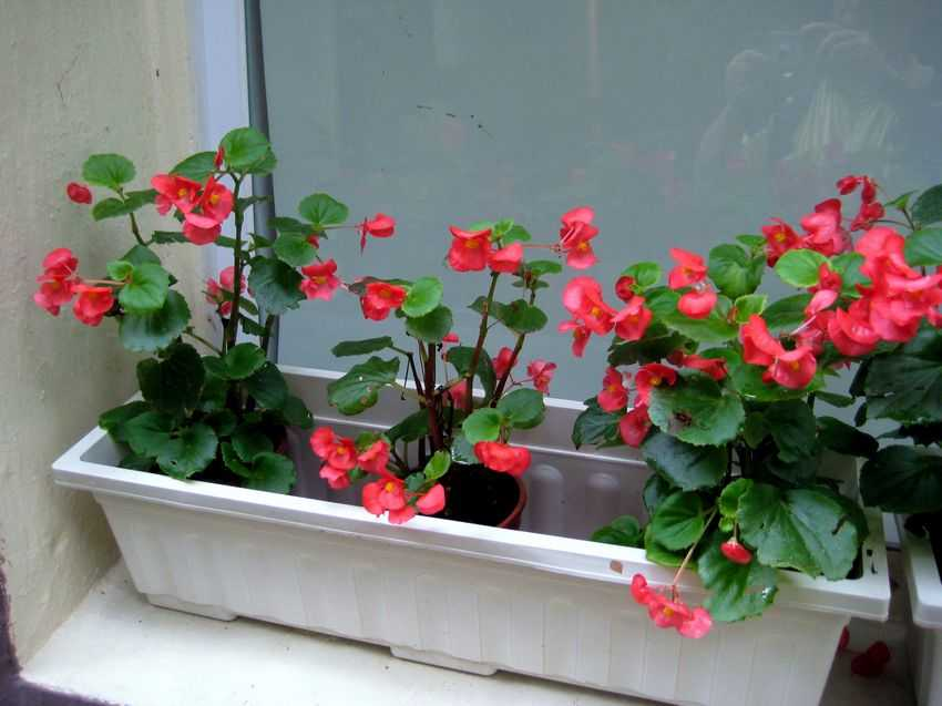Begonia semperflorens Red 紅臘秋海棠