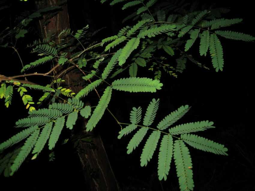 Caesalpinia decapetala 雲實