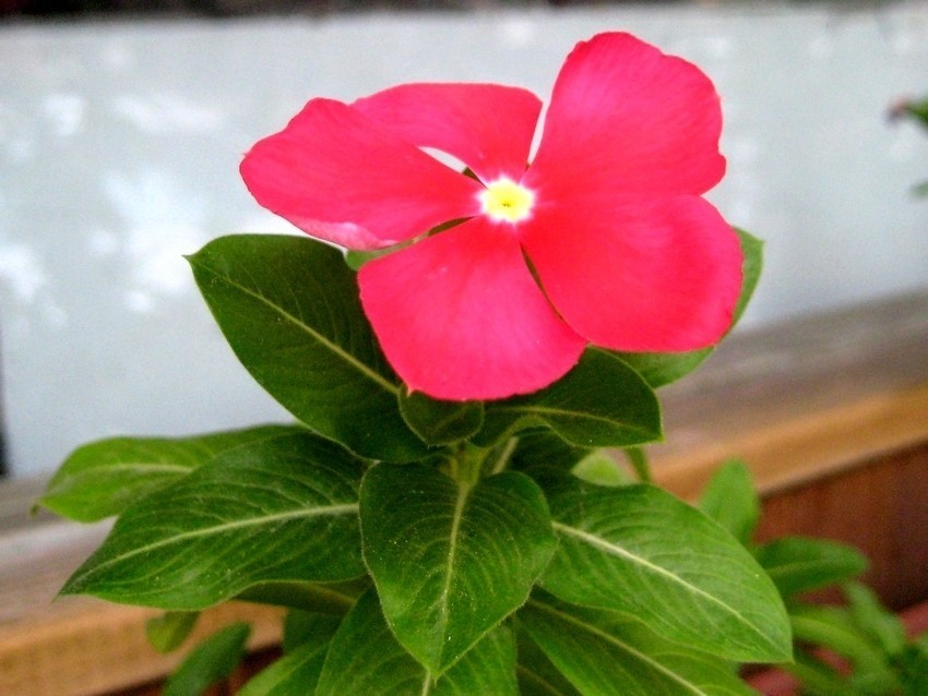 Catharanthus Sunstorm bright red 太陽風暴光紅長春