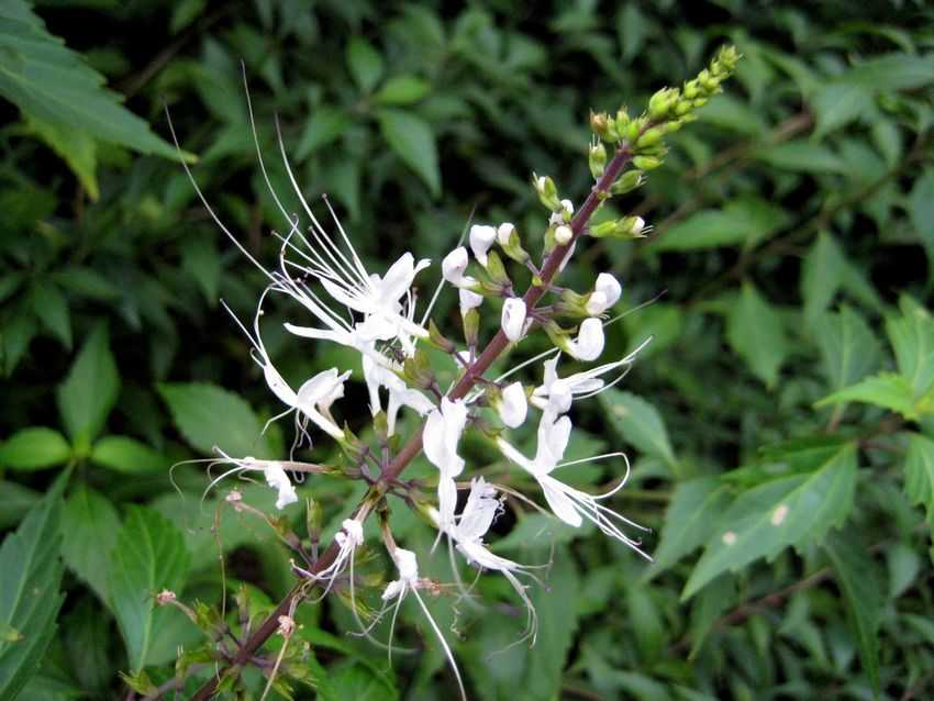 Clerodendranthus spicatus 貓鬚草