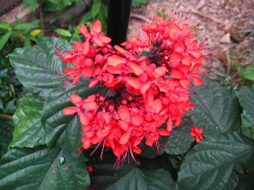 Clerodendrum splendens 紅龍吐珠