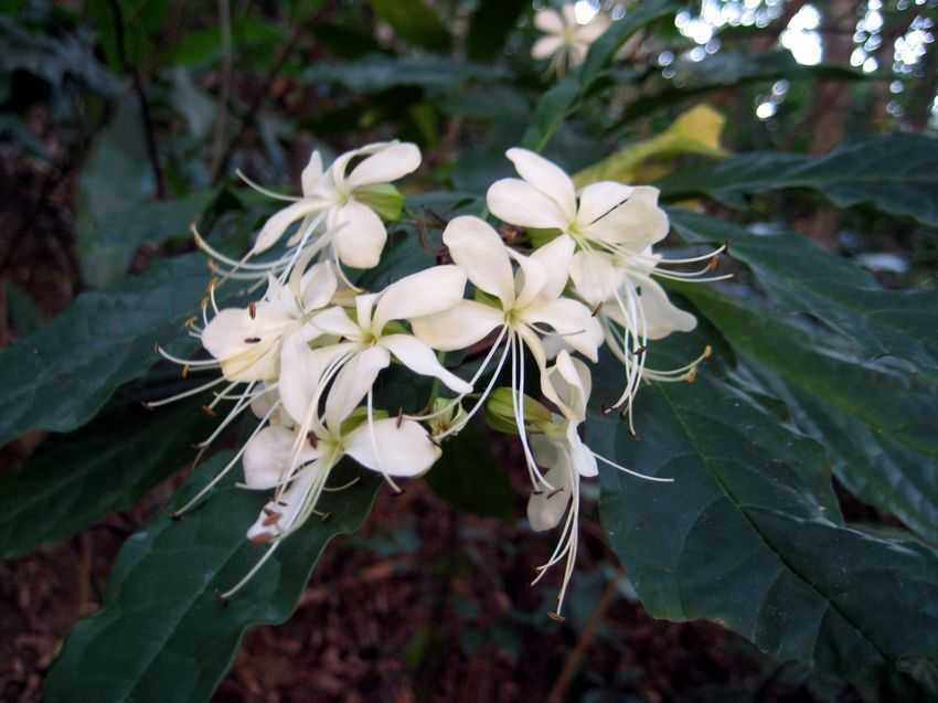 Clerodendrum wallichii 垂茉莉