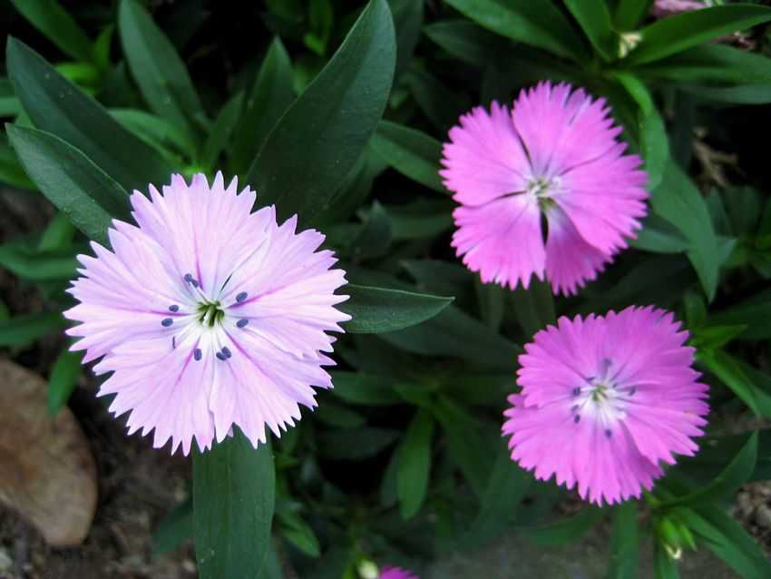 Dianthus chinensis 石竹