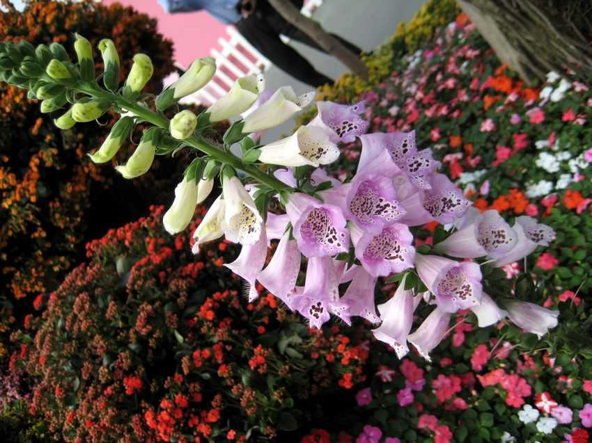 Digitalis purpurea 毛地黃