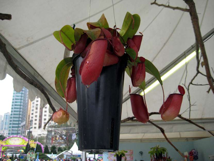 Nepenthes Bloody Mary 血腥瑪莉豬籠草
