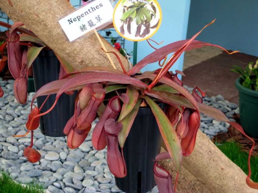 Nepenthes sanguinea Black Beauty 血紅黑美人