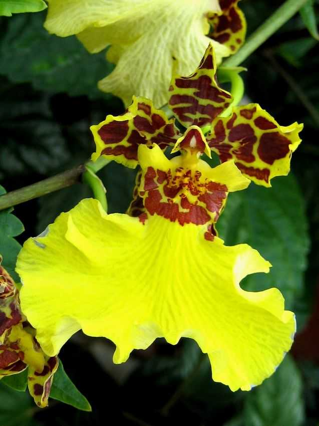 Oncidium jiuhbao gold 金鉅寶文心蘭