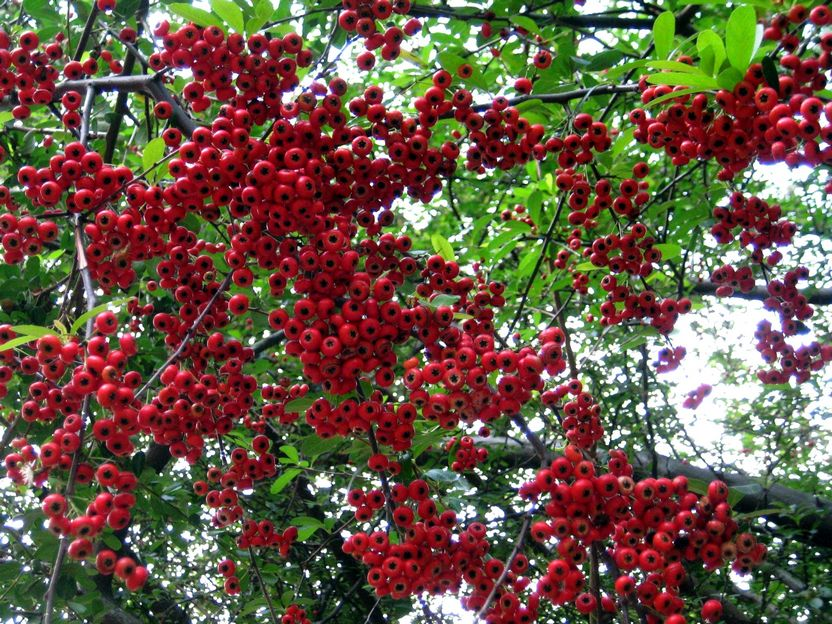 Pyracantha'Red Column' 紅列火棘