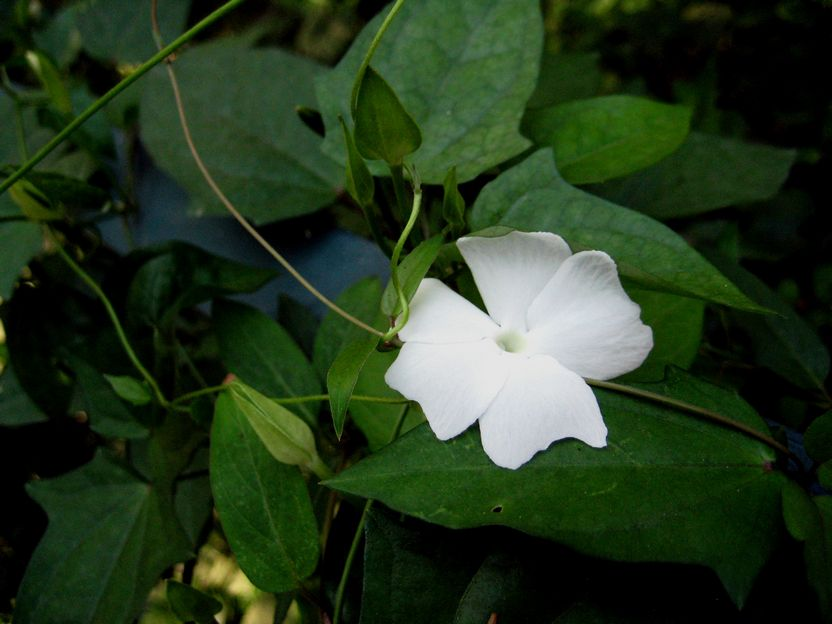 Thunbergia fragrans 碗花草